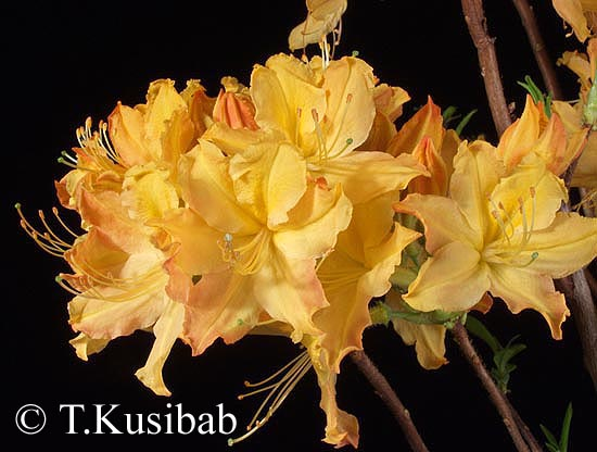 <h1>Golden Lights</h1><i><b>Azalea</b></i> <br />(Azalia)<br /><br />goakw.pl