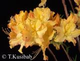 Golden Lights - Azalea  - Azalia