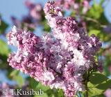 Katherine Havemeyer - Syringa vulgaris  - Lilak