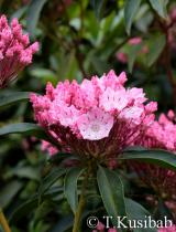 You Can (Unterlage) - Kalmia latifolia  - Kalmia szerokolistna